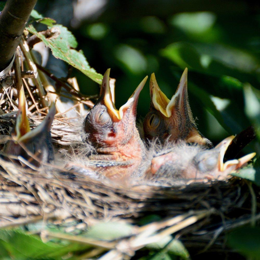 American Robins ( Turdus migratorius )