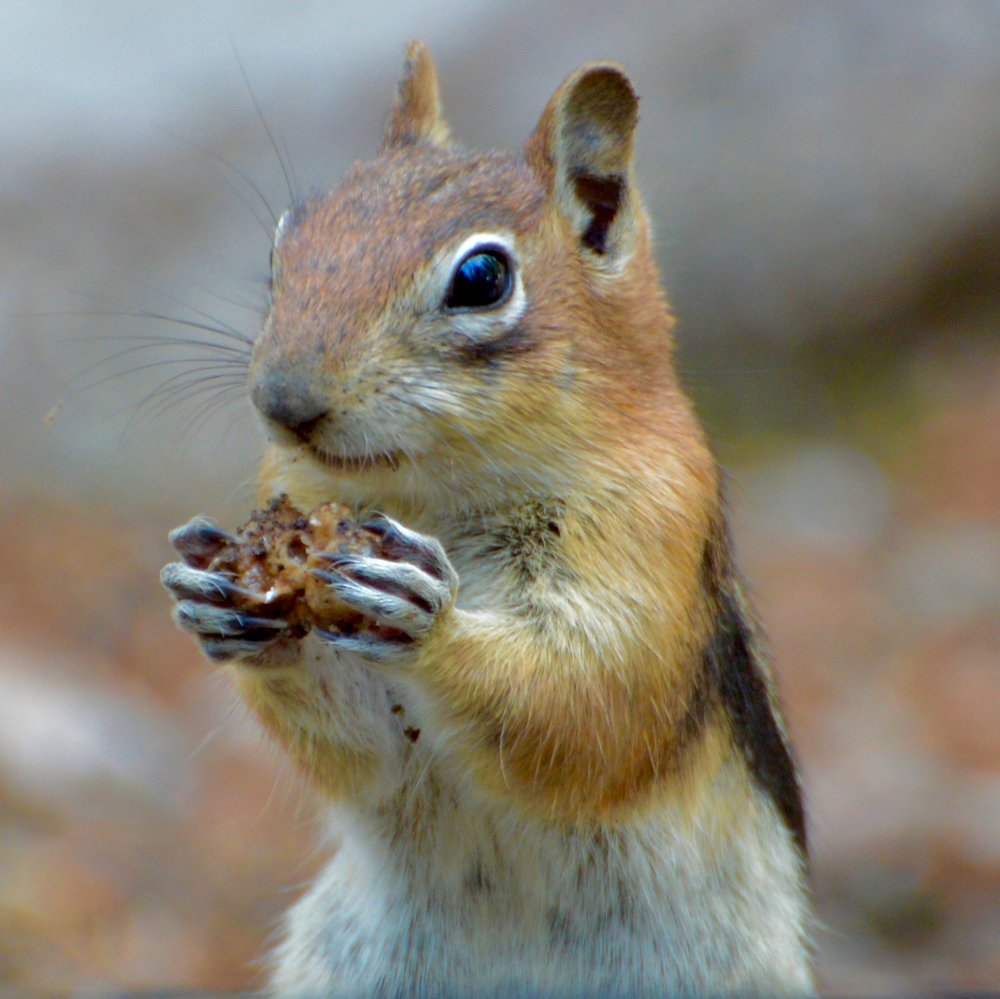 Golden Mantled Ground Squirrel (Spermophilus lateralis)