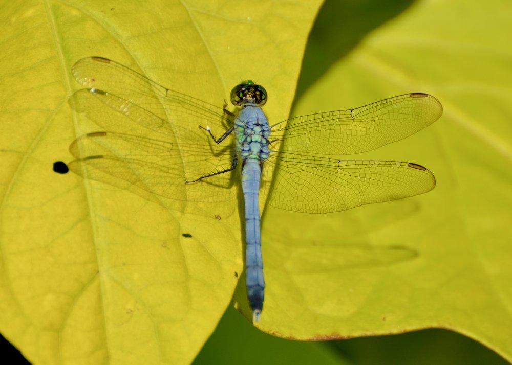 Blue Dasher (Pachydiplax longipennis)