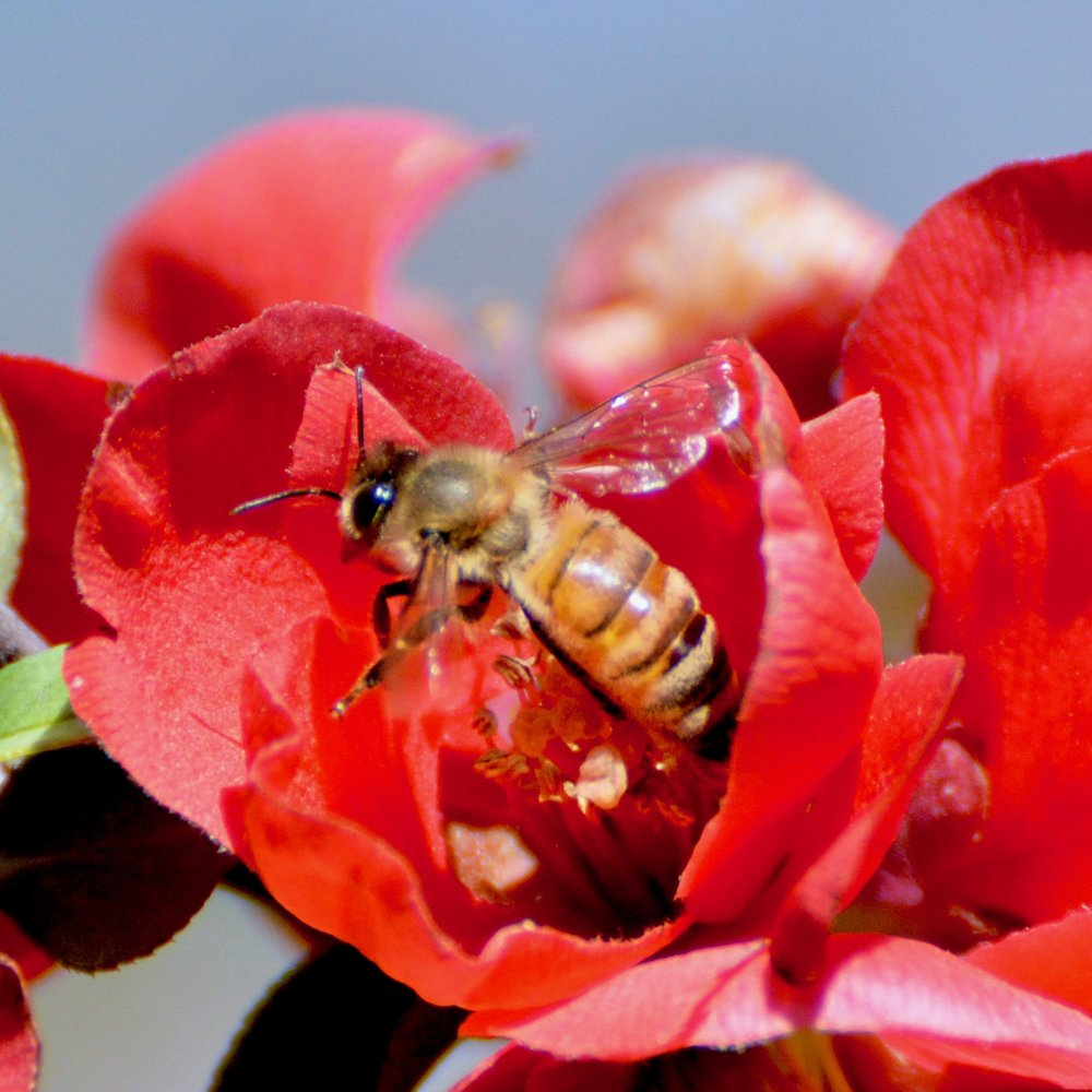 Honeybee Apis(specify identity)— photo by Brady Swenson (cc)