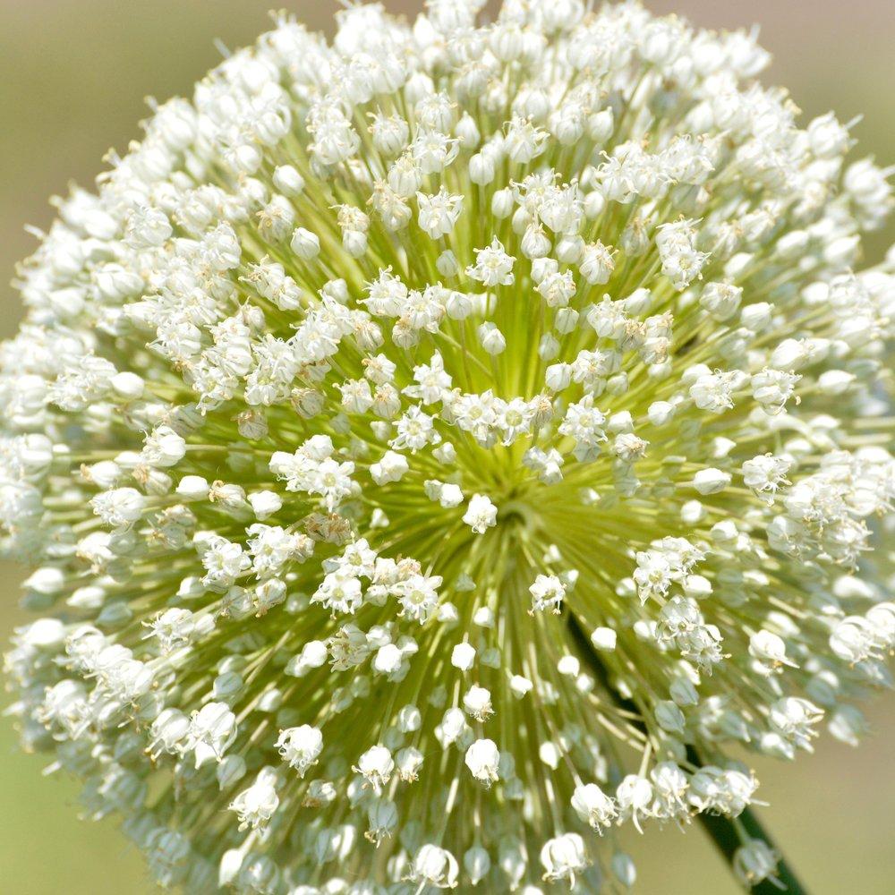 Leek Flower (cultivar of Allium ampeloprasum)