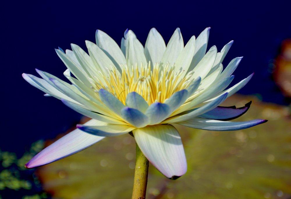 Egyptian White Lotus (Nymphaea lotus)