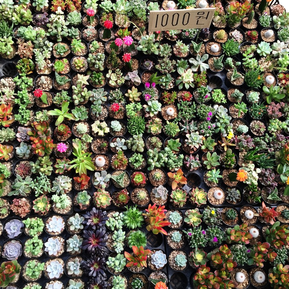 Tiny succulents for sale at an indoor flower market.