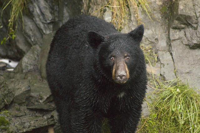 black-bear-flickr-plf73.jpg