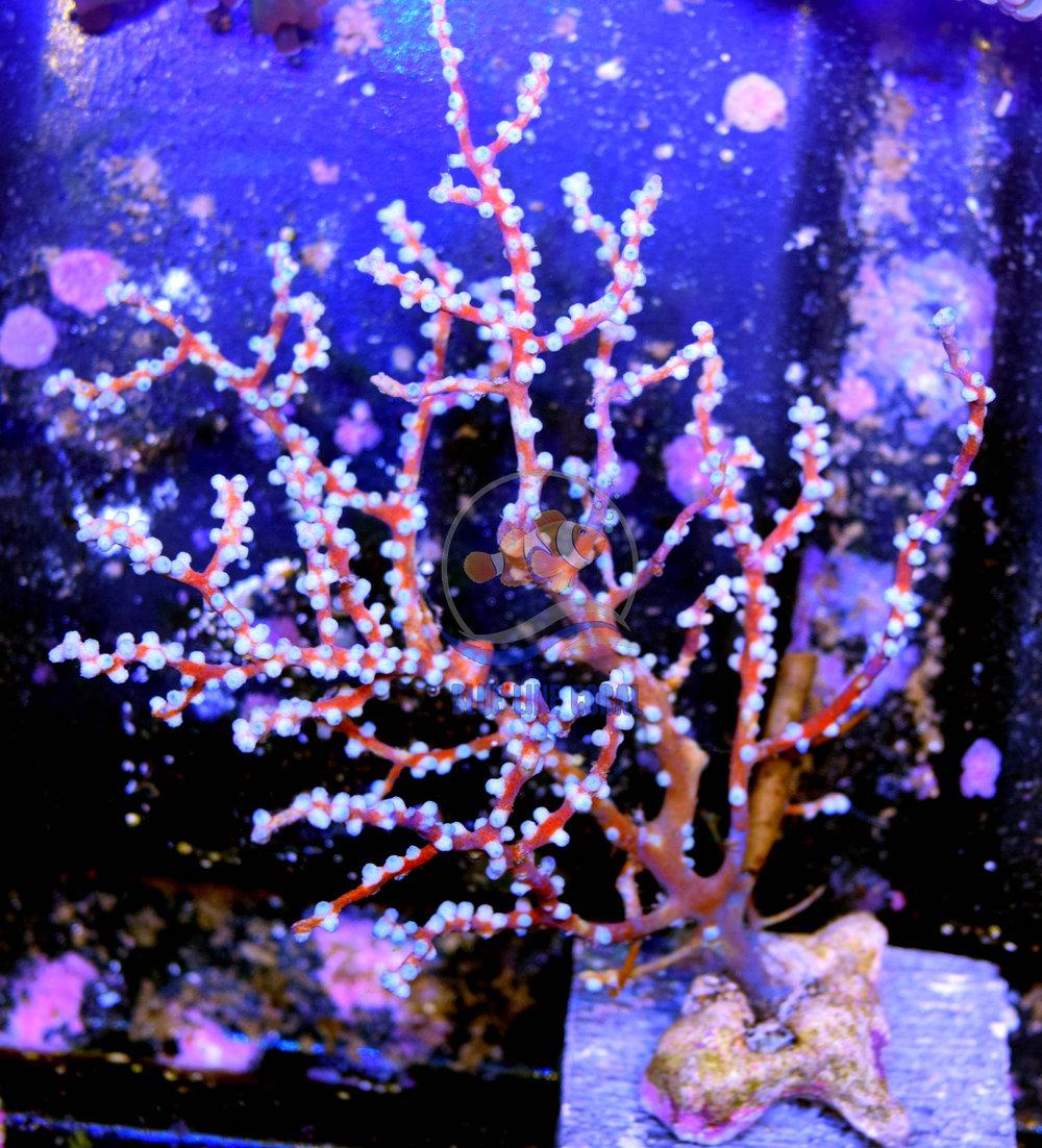 Blueberry Gorg.jpg