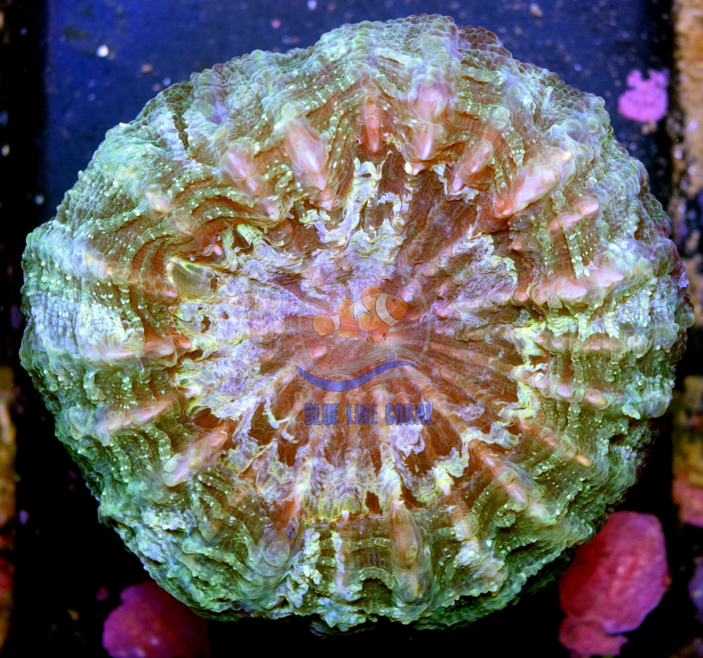 Green Glitter Meat Coral.jpg
