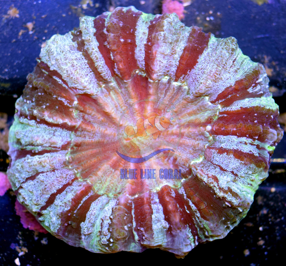 Stripped Meat Coral.jpg