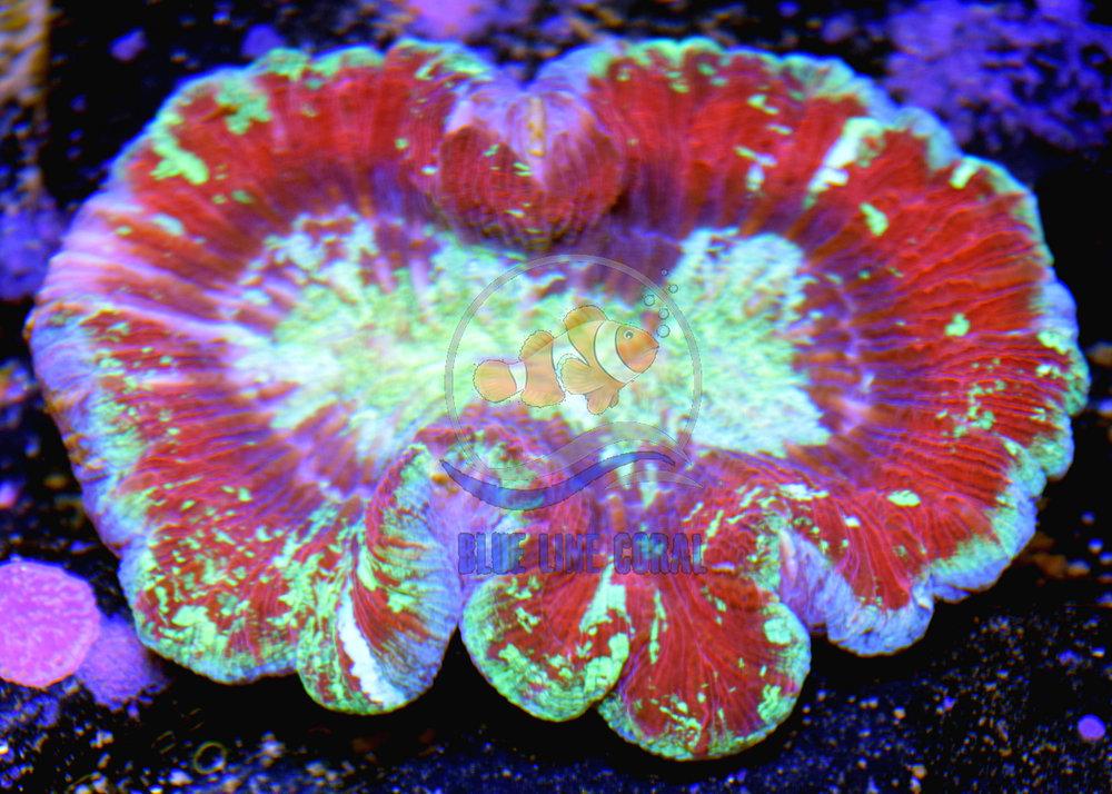 k wellso red purple splatter.jpg