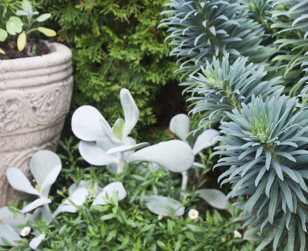 Euphorbia adds year round texture