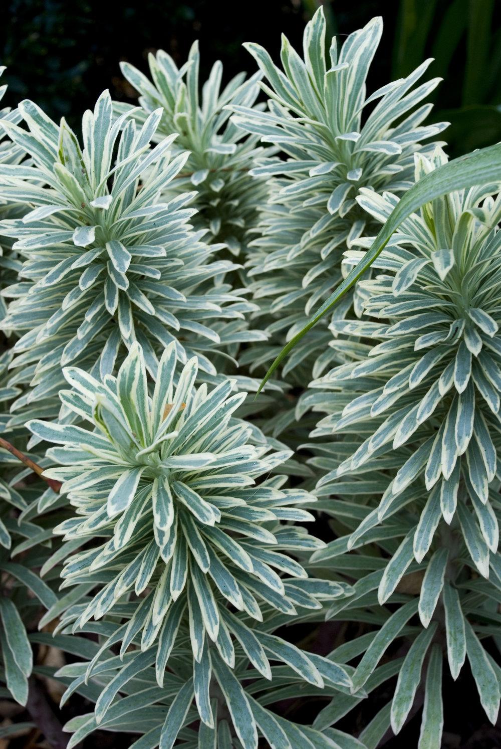 "Euphorbia ""Sliver Swan'"