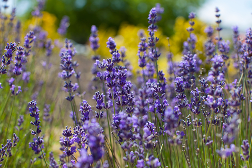 Lavender is a wonderful filler plant - it lives fast and dies young, plus it is easily clipped to keep to it from swamping the mainstay plants.