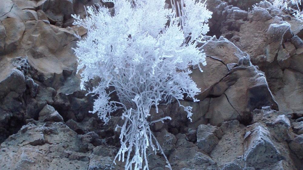 A bush near the top of the falls, frozen white.