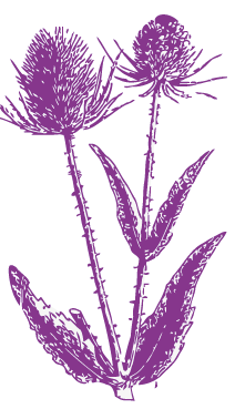 cardo fiore crop.png