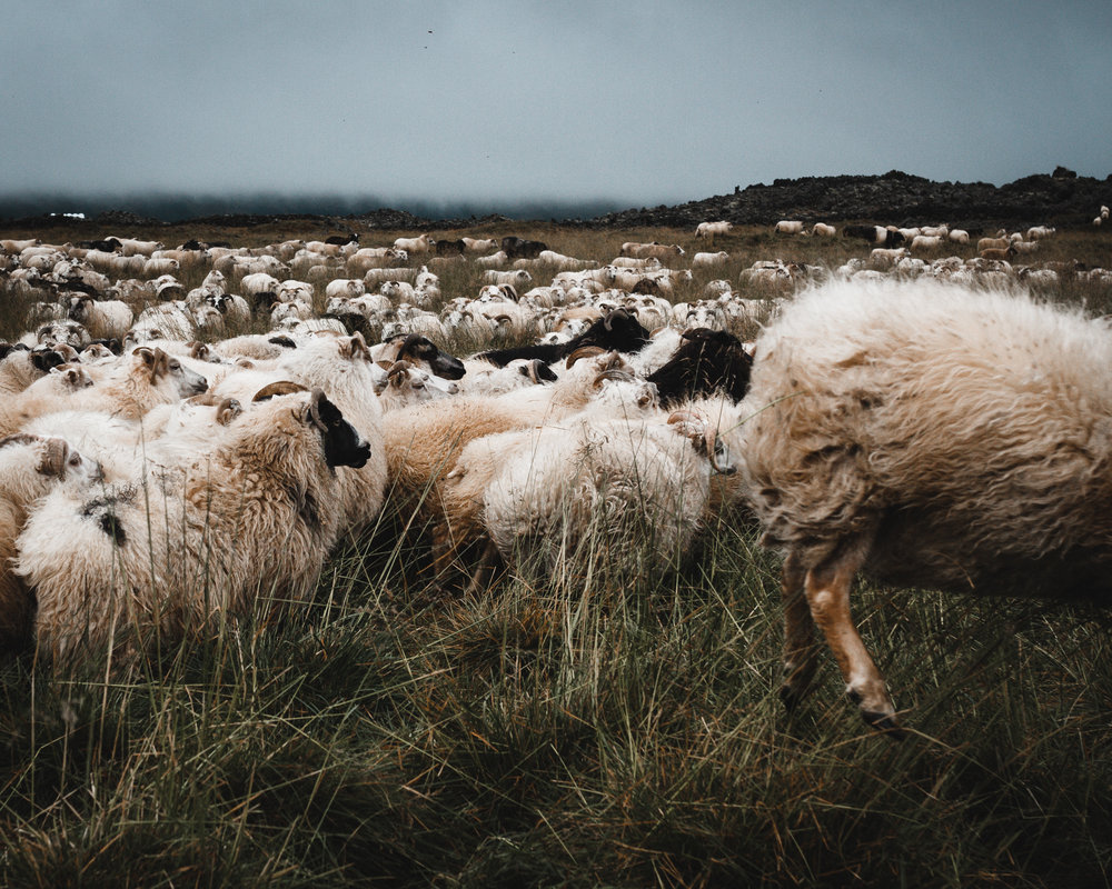 I tried to count the sheep but fell asleep.