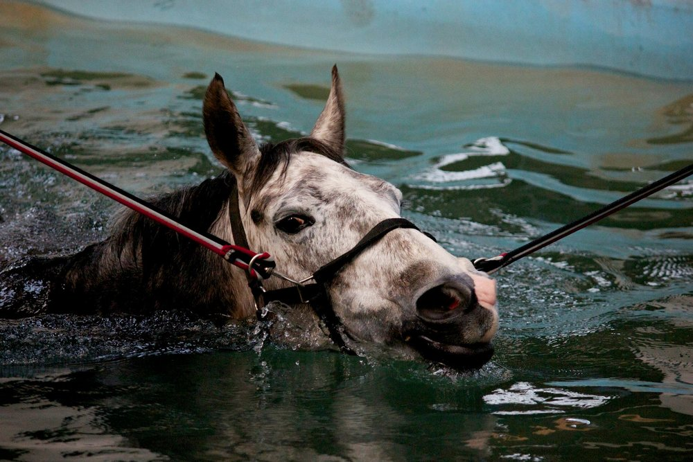 Horse Swimming.jpg