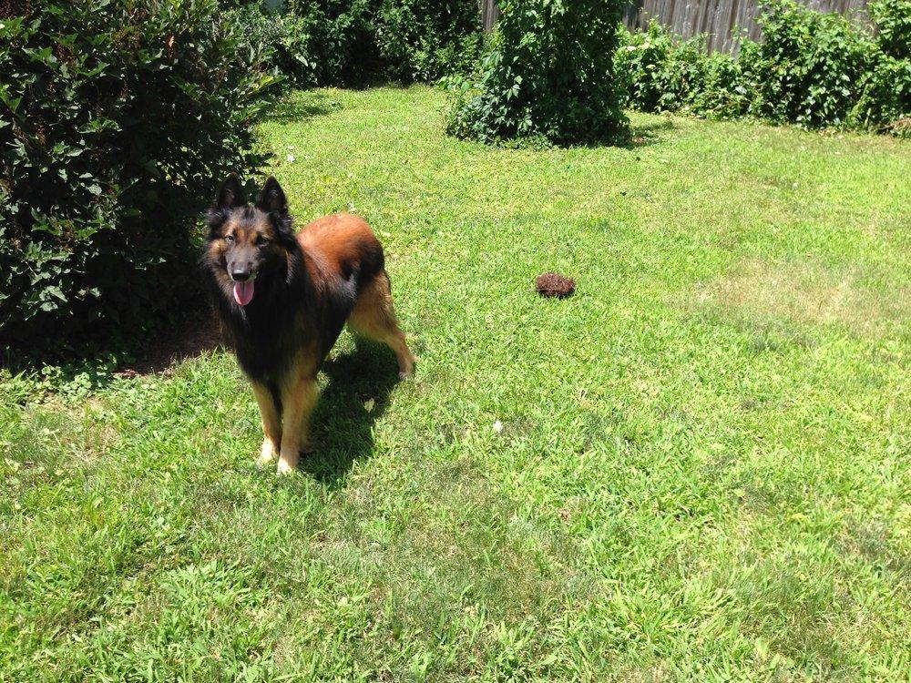 Moki the Fierce enjoying the back yard at my Piermont house