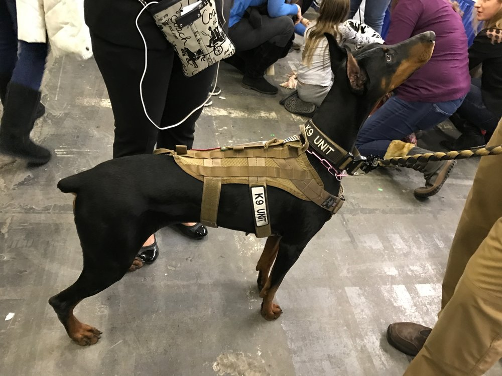 Doberman Pinscher--origin Germany