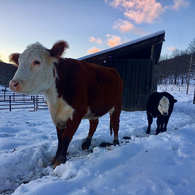 Of all our animals, these guys did the best during our recent frigid cold snap. It's a good thing they have their thick winter coats on! We've had lots of late nights recently making sure all of our critters are as comfortable as possible. Single degree weather with windchills as a low as -20F is tough on everyone. . . . . . . . . #greenerpasturespa #farmlife #grassfed #eatlocal #farmtotable #farmtofork #winter #winterwinderland #humanelyraised #allnatural #pennsylvania #doingwhatilove  #familyfarm #pasturedmeat #knowyourfood #pafarm
