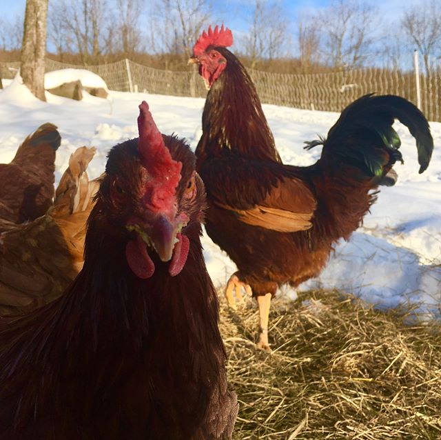 I totally got photobombed while trying to take this picture of one of our roosters. Chickens don't like standing still for photos, but they do make great candid shots! . . . . . . . . #Greenerpasturespa #chicken #funnychickens #chickenphotography #rooster #chickensofinstagram #eatlocal #pafarm #pennsylvania #photobomb #photobombed #knowyourfood #farmlife #ourlife #farmtotable #farmtofork #chickenlife #funnyanimals