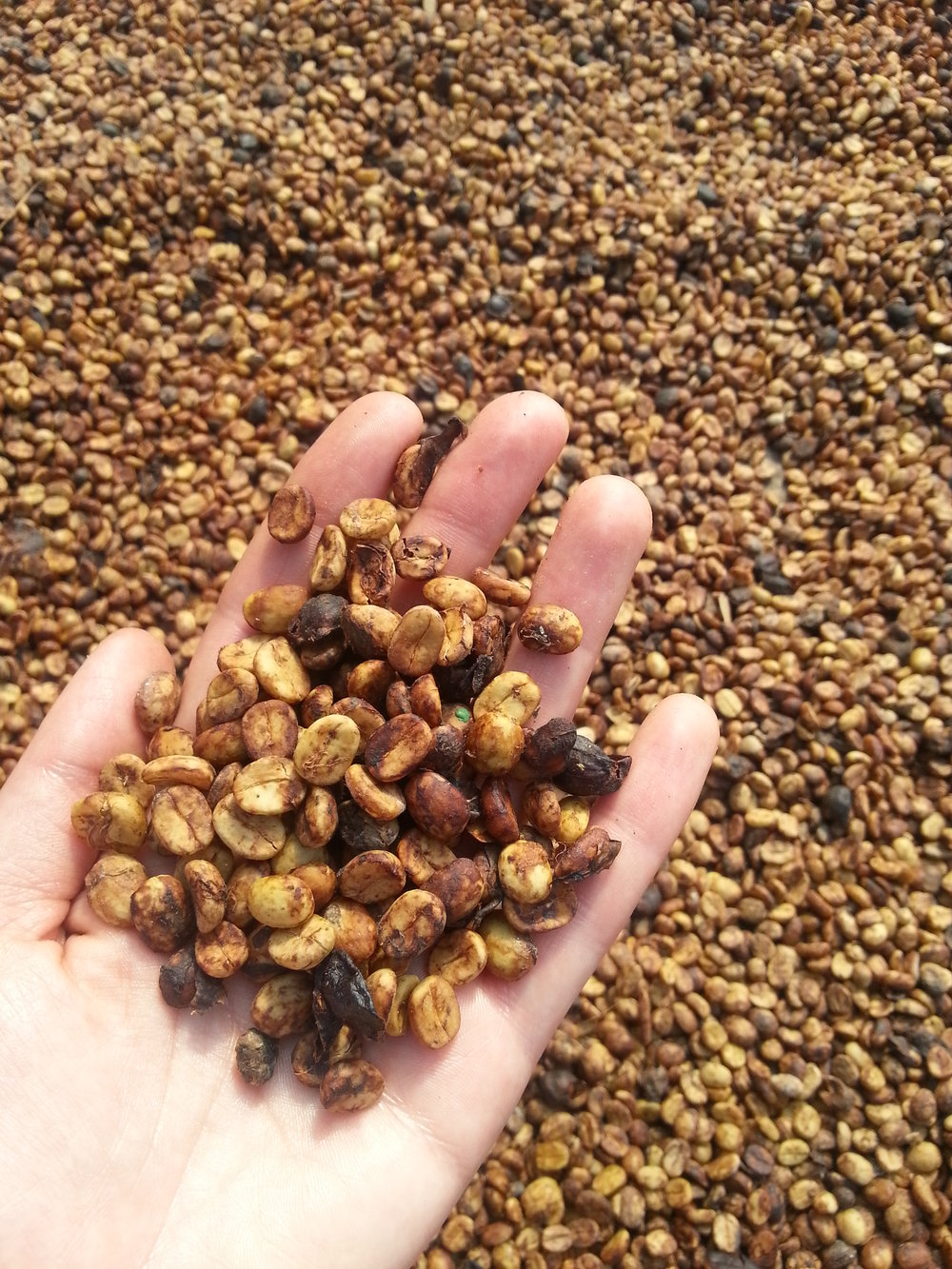 An example of honey processed coffee during the drying stage.