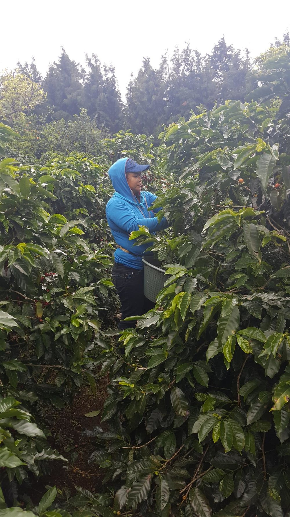picker picking pickled cherry.jpg