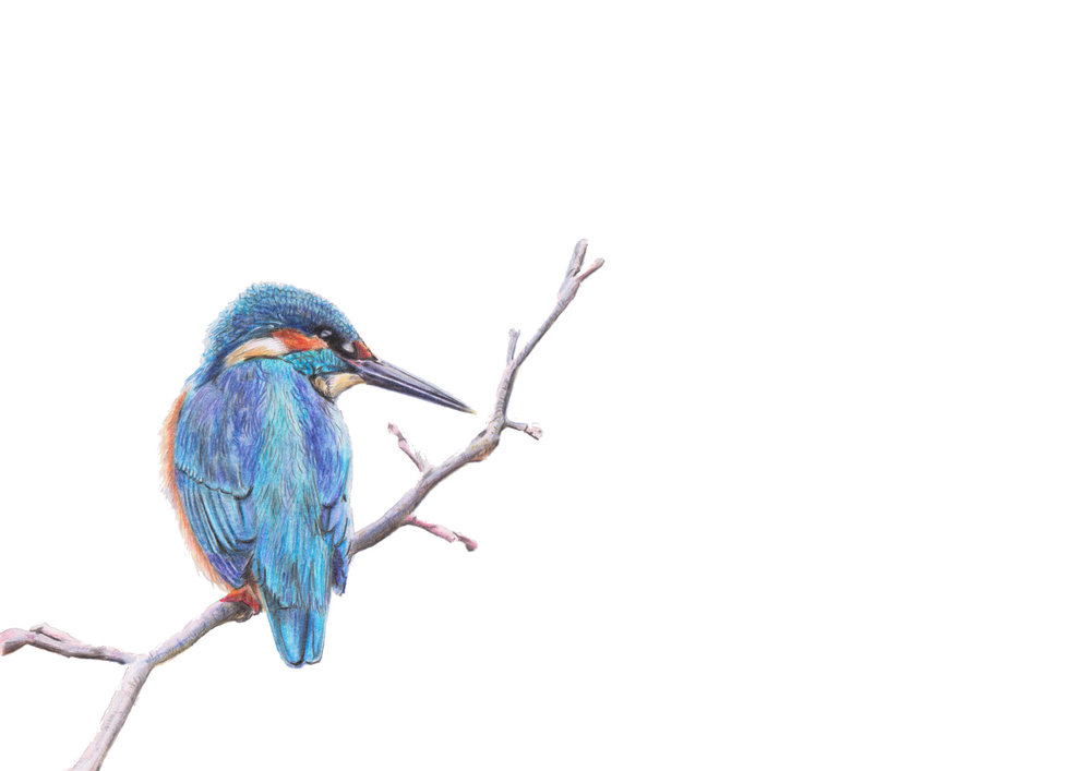 Kingfisher Coloured pencils large.JPG