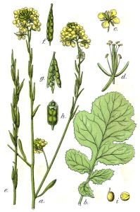 Black mustard (brassica negra) believed to be the plant Jesus referred to in the parable of the mustard seed