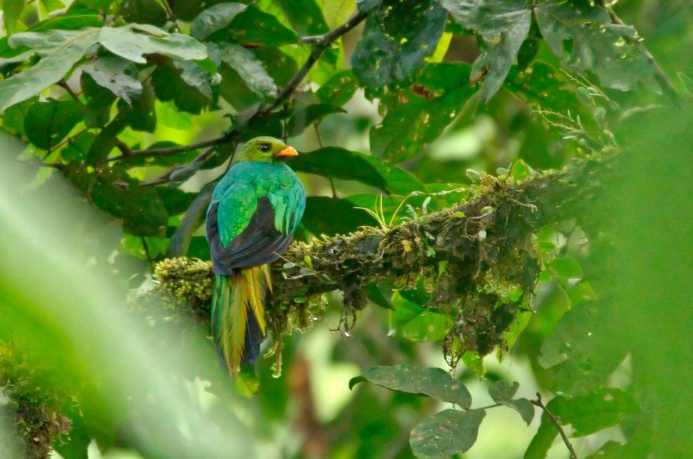 Quetzal.jpeg