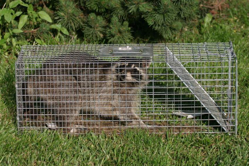 One less raccoon on the ranch!