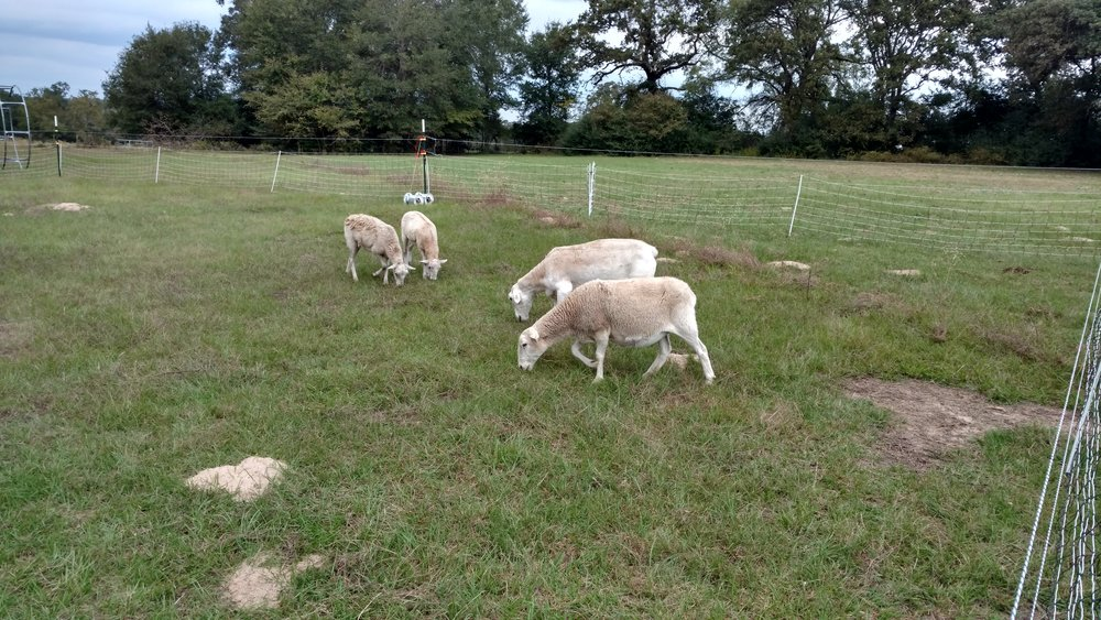 Senter Ranch's first flock of Dorpers. The front ewe is the oldest and the first likely to have lambs