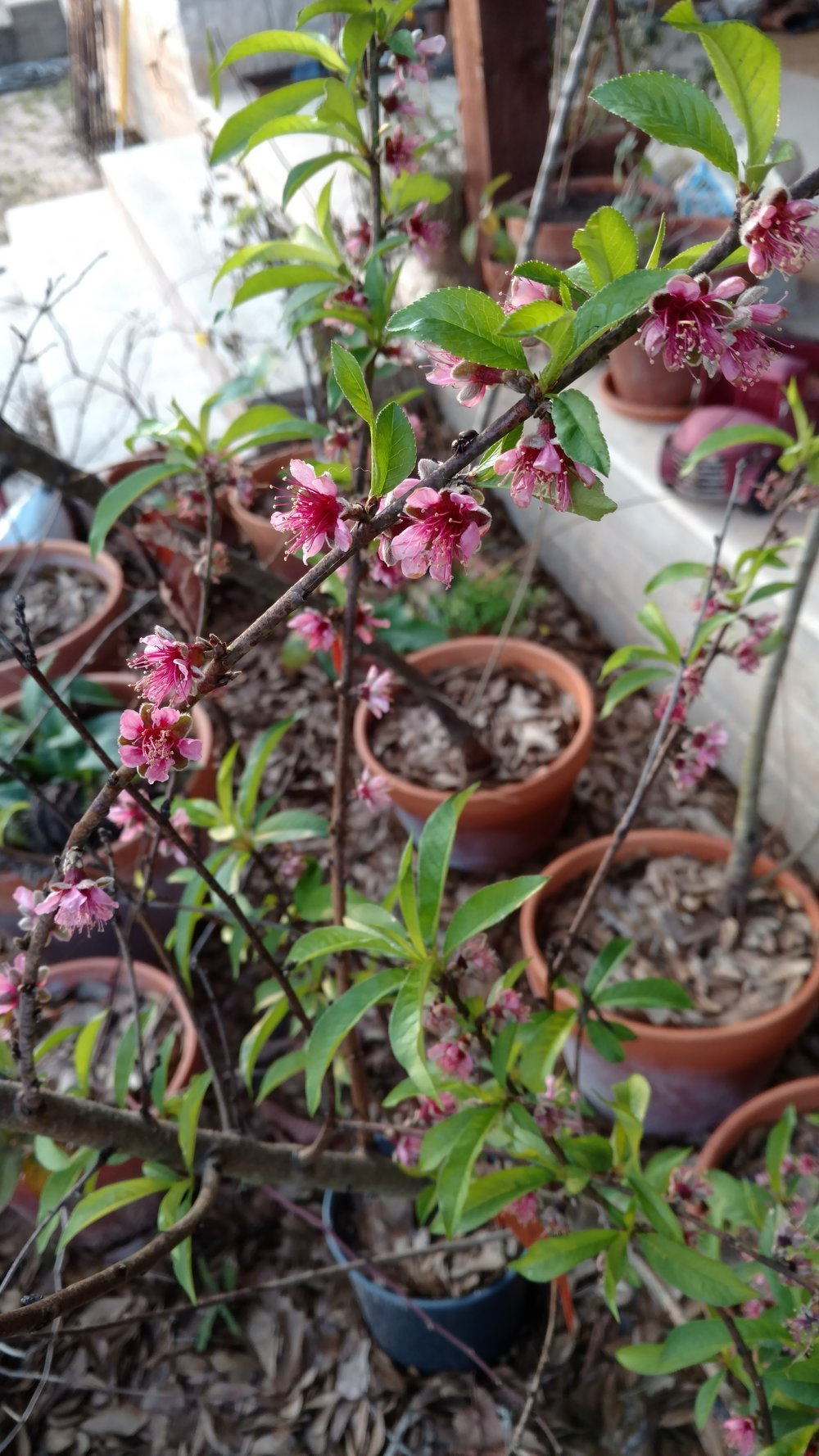See all the pots in the background! A Redskin peach blooming.