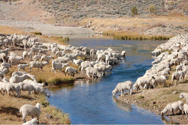 MMW Sheep.jpg