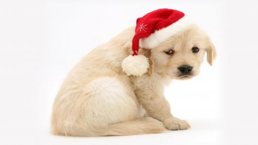 100276358-sad-christmas-puppy-gettyp.530x298.jpg