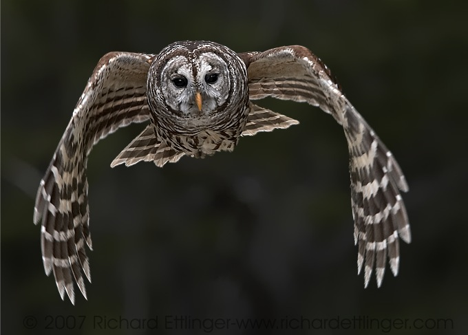 barred-owl.jpg