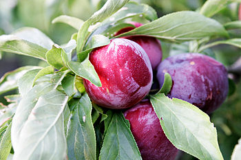Ripe Plums on a plum tree (Photo credit: Wikipedia)