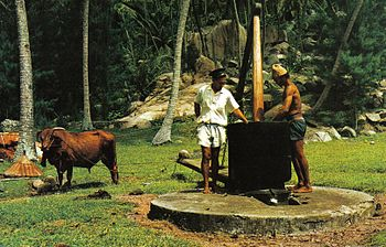 Traditional bullock-powered coconut oil mill. Dried coconuts are crushed and oil is squeezed out. (Photo credit:  Wikipedia )