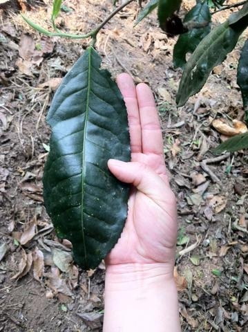 One large leaf