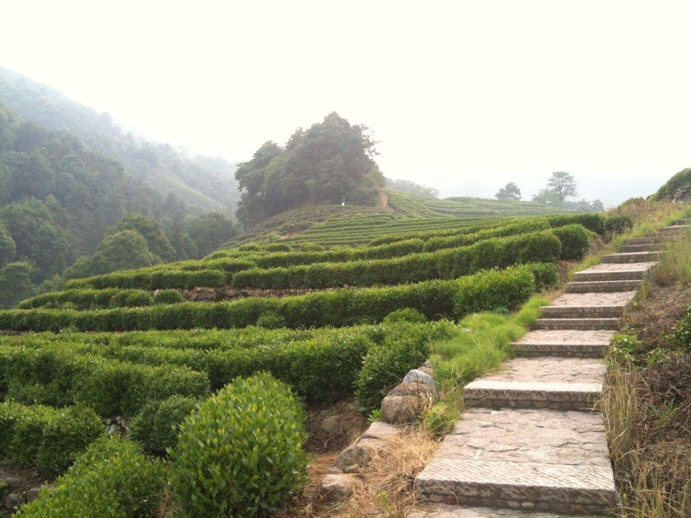 Long Jing Tea Growing in Long Jing Hang Zhou