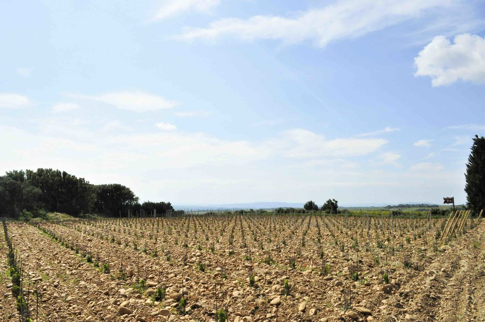 Rhone Vines 6 low res.jpg