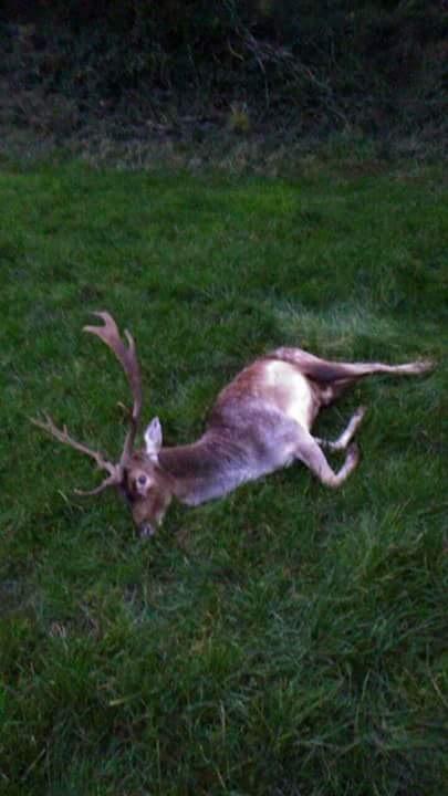Fallow Deer Ireland (2).JPG