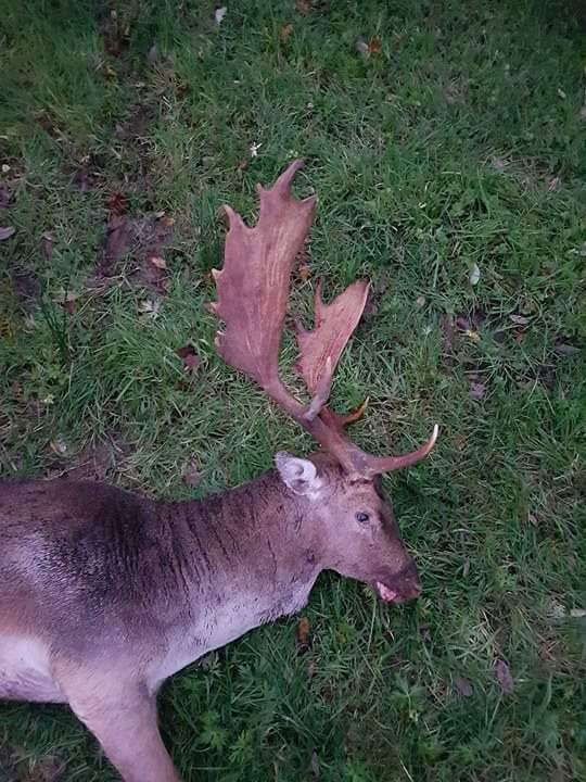 Fallow Deer Ireland (6).JPG