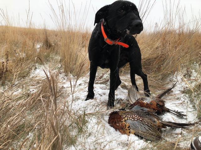 Pheasant Dog.jpeg