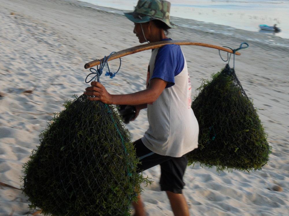 Seaweed farming (1).JPG
