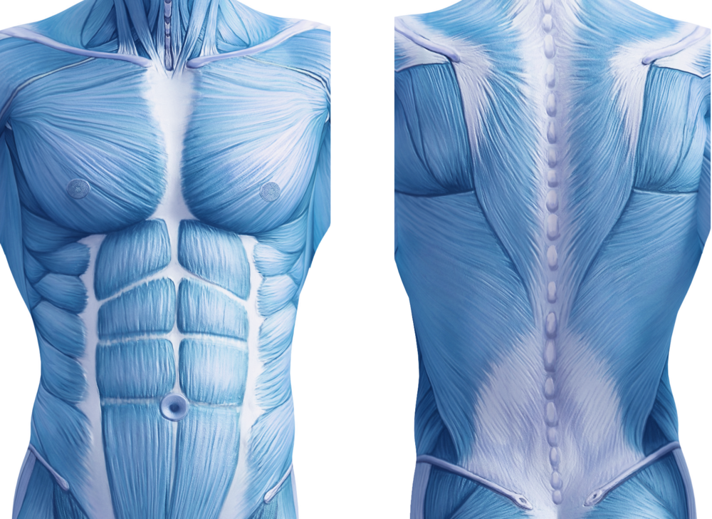 core-muscles-front-back.png
