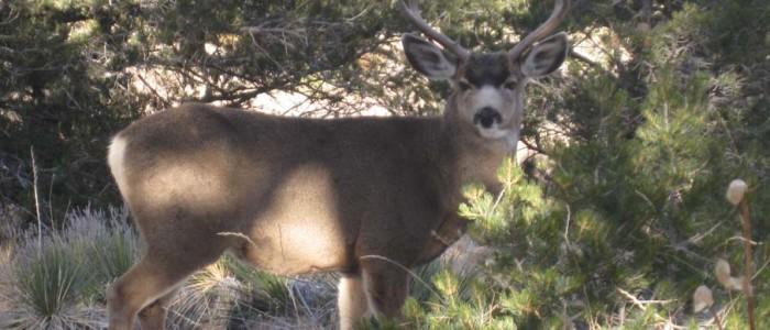 Crestone deer.jpg