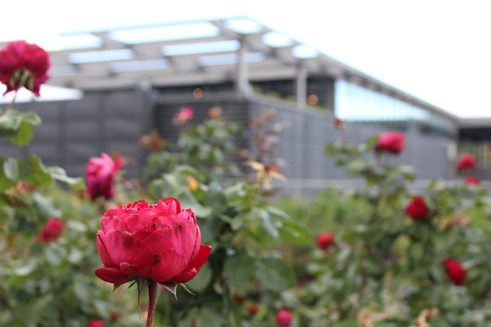 Roses surround the ultra contemporary tasting room at Feudi di San Gregorio