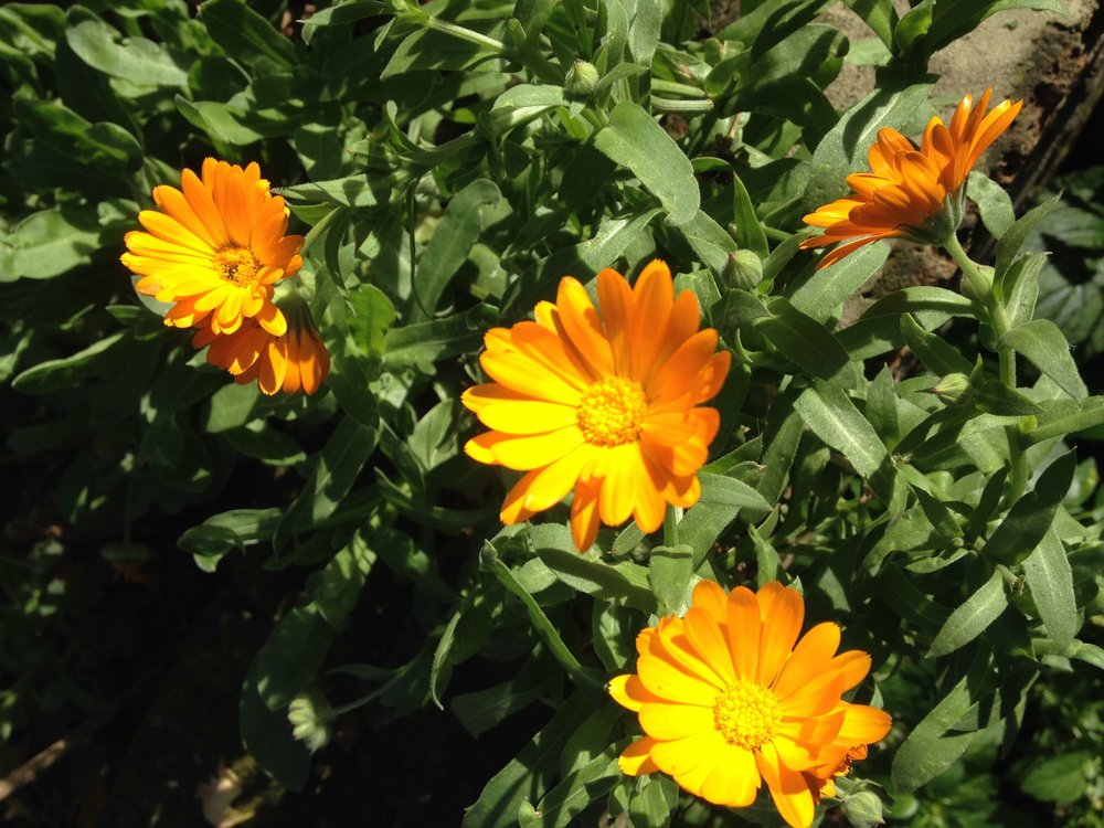 Marigolds .jpg