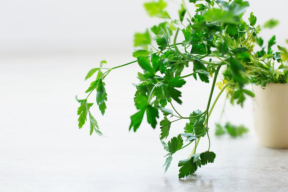 cilantro - drying herbs