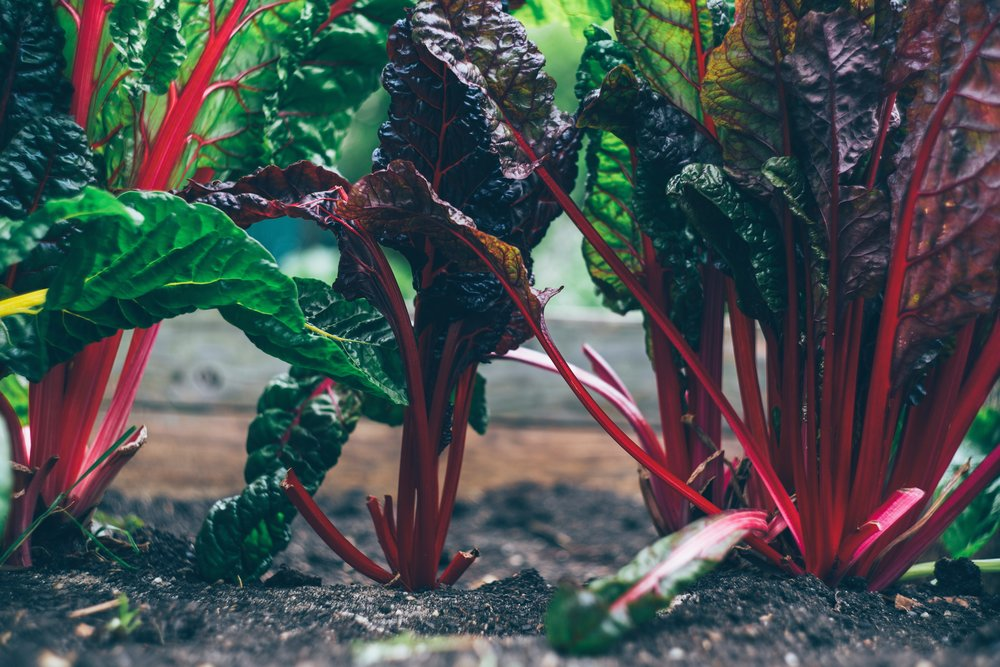 chard growing - chard recipes