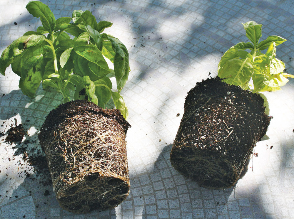 Example of strong root growth in 1 month   LEFT:  2 TBS Black Diamond VermiCompost  RIGHT:  Nothing added